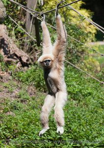 White-handed Gibbon hanging from rope - Hylobates lar