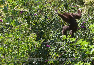 White-handed Gibbon balancing on rope - Hylobates lar