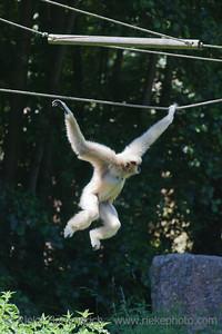White-handed Gibbon brachiating - Hylobates lar