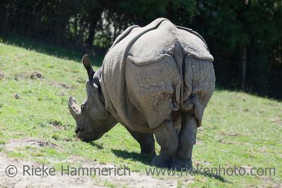 Indian Rhinoceros grazing - Rhinoceros unicornis