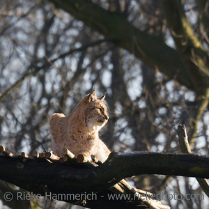 lynx on alert - bobcat on a tree - adobe RGB
