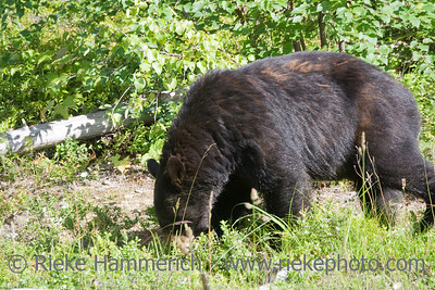 black bear - ursus americanus in jasper national park, canadian rockies, alberta - adobe RGB