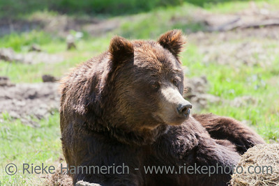 Brown bear portrait - Ursus arctos