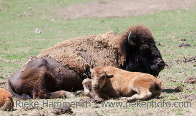 American buffalo cow with six weeks old calf - Bison bison