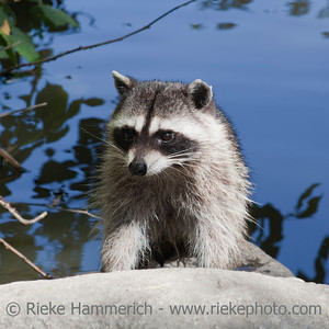 Raccoon Portrait - Procyon lotor in Stanley Park, Vancouver, British Columbia, Canada