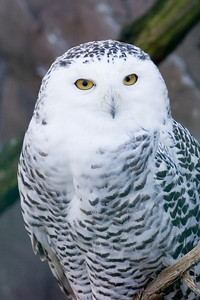 snowy owl - nyctea scandiaca – shallow DOF - adobe RGB