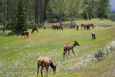 Herd of elk grazing on a meadow – Cervus Canadensis in Jasper National Park, Alberta, Canada