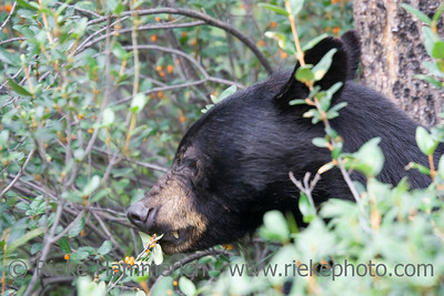 Portrait of a black bear - Ursus americanus eating wild berries - jasper national park, canada