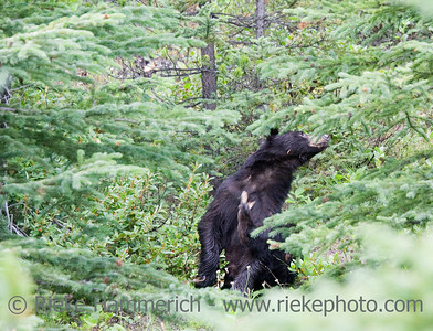 black bear scratching - ursus americanus in banff national park, canadian rockies - adobe RGB