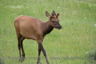 Young bull elk on a meadow - Cervus canadensis in Jasper National Park, Alberta, Canada