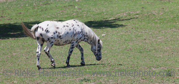 Appaloosa on meadow - Equus ferus caballus