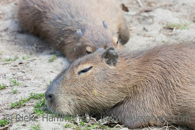 Sleeping Capybaras - Hydrochaeris hydrochaeris - The largest living rodent in the world
