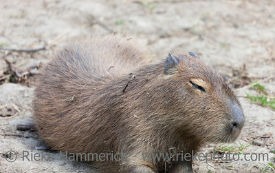 Tired Capybara - Hydrochaeris hydrochaeris - The largest living rodent in the world