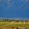Elk couple with Mt. Harding, Mission Mountains, Montana