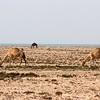 Camels grazing in Qatar desert.