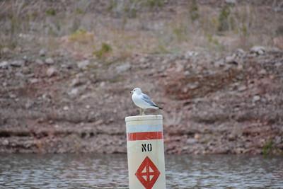 Ring Bill Gull (Nevada)