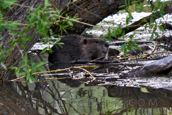 Beaver working during flood.