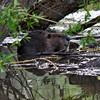 Beaver working during flood.