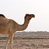 Camel grazing in Qatar desert.