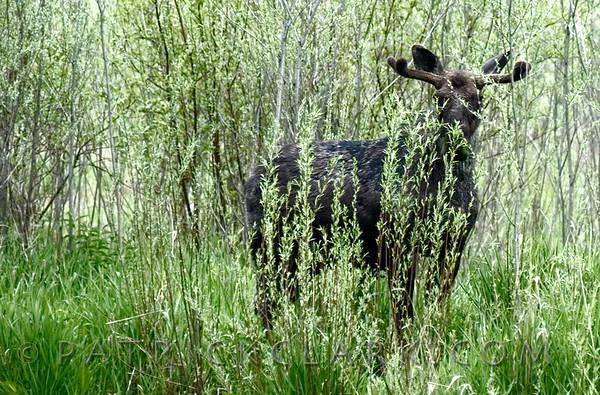 Young Bull moose in velvet, Montana