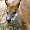 Kangaroo, Taronga Zoo, Australia