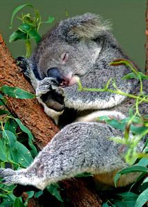 Koala, Taronga Zoo, Australia