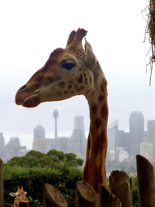 Giraffe at Taronga Zoo,Sydney Tower in the background