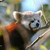 Red Panda napping.