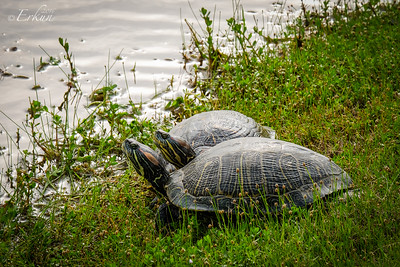 Red-Eared Sliders @ Our Pond