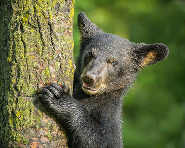 USA, Minnesota, Sandstone, Minnesota Wildlife Connection. Close-up of black bear cub climbing a tree.