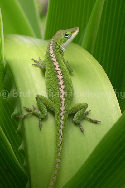 Gecko_0454