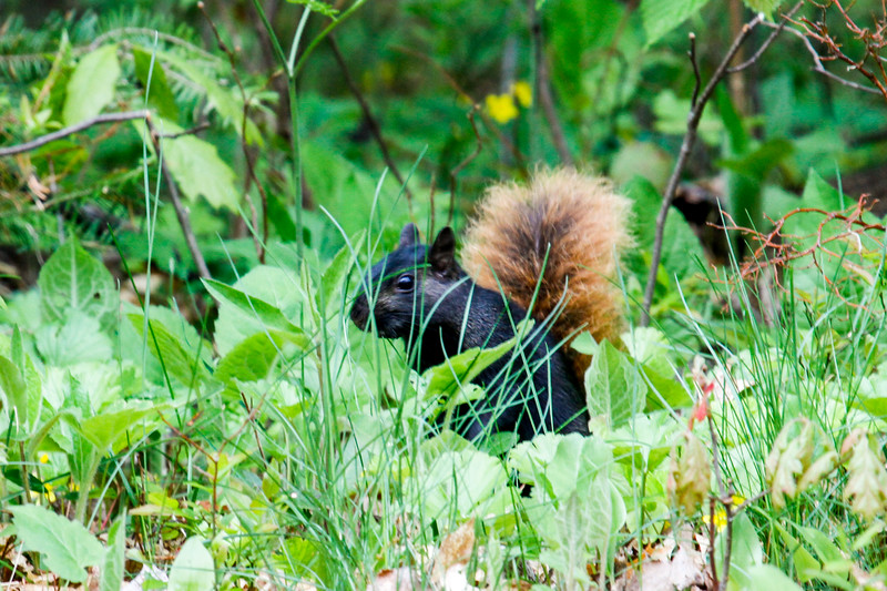 Oddball - black squirrel with red tail