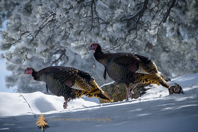 I spotted these turkeys near our home during our spring snow storm. This image was selected as a cover winner for our local newsletter.