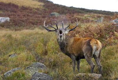 Roaring Stag, Scotland