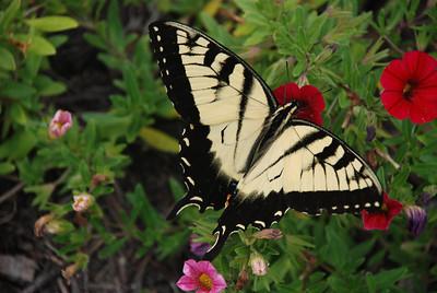 Tiger Swallow Butterfly in Appalachian Mountains