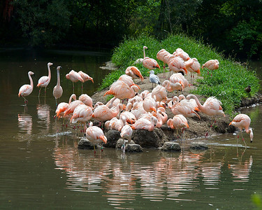 Caribbean flamingoes at the Bronx Zoo (July 2011)