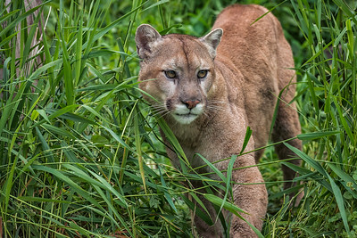 USA, Minnesota, Sandstone, Minnesota Wildlife Connection. Cougar in tall grasses on the prowl.