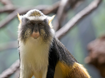 Wolf's guenon in the Congo Gorilla Forest exhibit at the Bronx Zoo (July 2011)