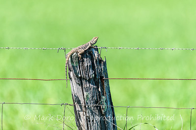 Eastern Bearded Dragon, sunning on fence, near Nhill, Victoria
