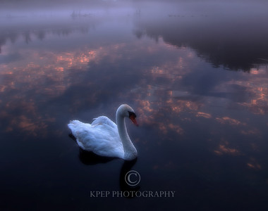 A white swan at sunrise with a pink sky at Ayr Ontario