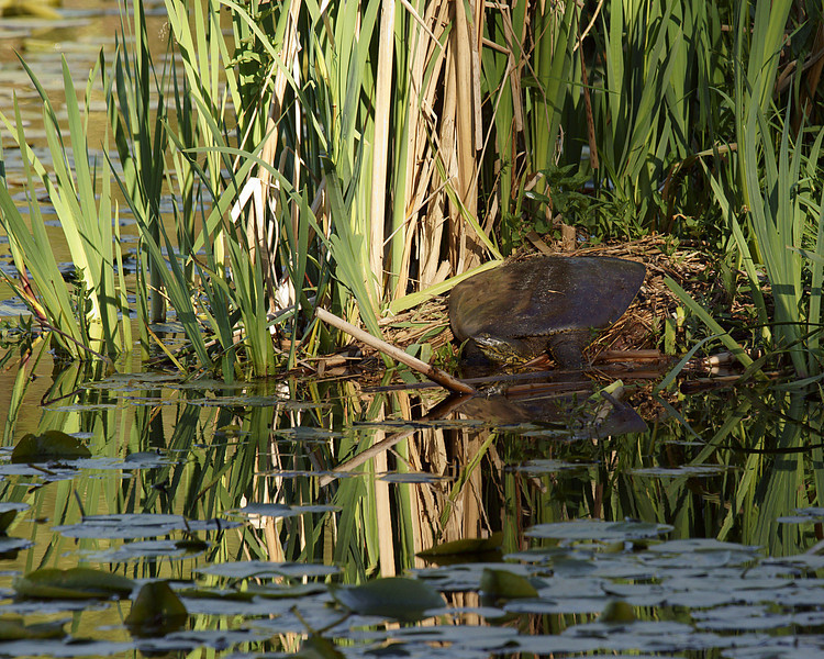 Softshell Turtle, another non native species in Lake Washington.