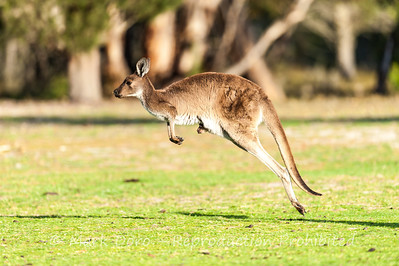 Eastern Grey Kangaroo and joey, Little Desert National Park, Victoria