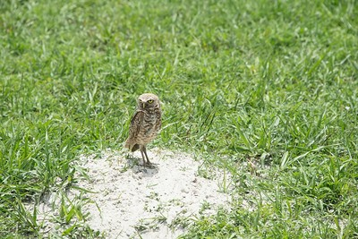 Burrowing Owl in Vista View Park Florida