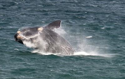 Breaching Whale - Hermarnus Bay ……………….[ Copyright © - Photo by Barry Jucha ]