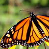 Stunning Monarch butterfly poses on a stem.
