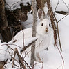 Close Encounter with a Snowshoe Hare 8