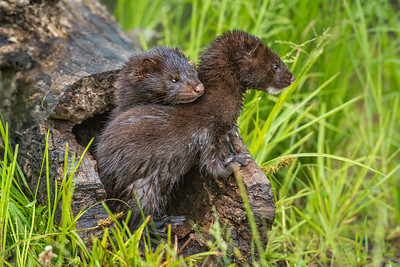 USA, Minnesota, Sandstone, Minnesota Wildlife Connection.  Mink kits in log watching for mother.