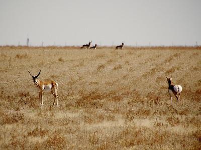 High Plains Turbo goats