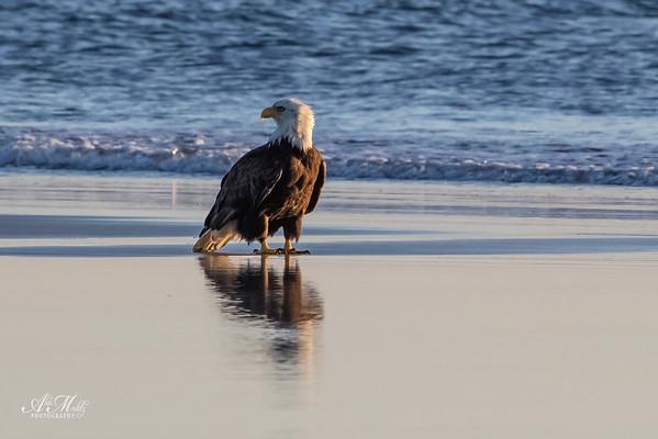 Bald Eagle on the Beach