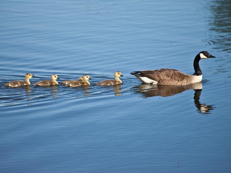 Geese babies Swimming Lake